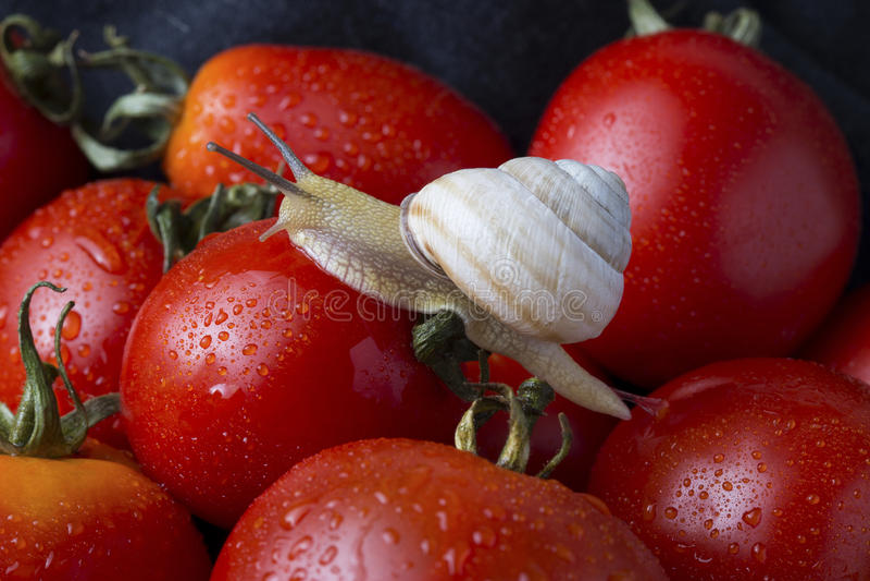 Tomates et escargot photographie stock libre de droits
