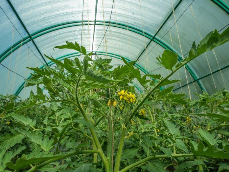 Tomates florecientes en el invernadero en el plotr fotografía de archivo libre de regalías