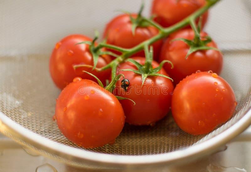 Tomates frescos de la vid lavados en un colador en un tablero de drenaje con una mariquita fotos de archivo libres de regalías