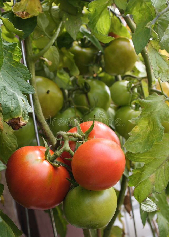 Tomates frites par vert photographie stock