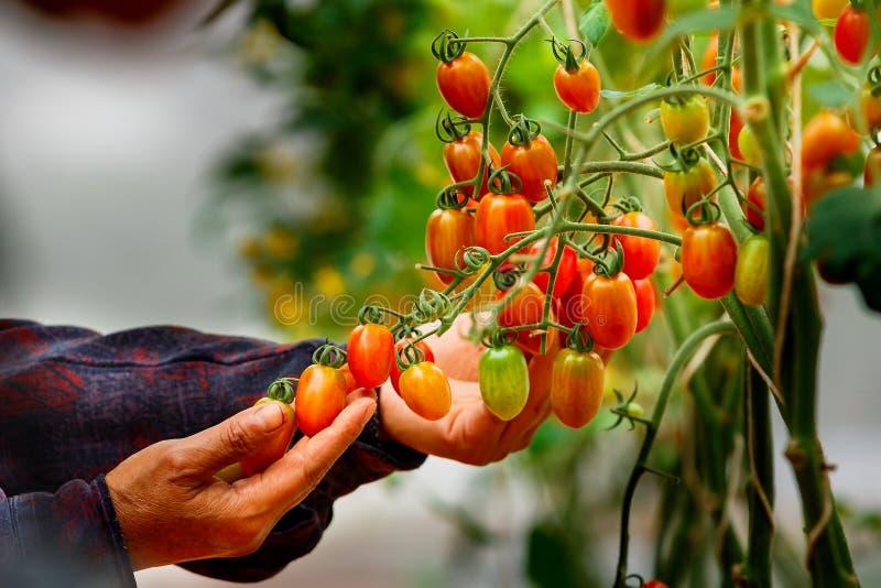 Tomates, granjero orgánico que comprueba los tomates fotografía de archivo libre de regalías