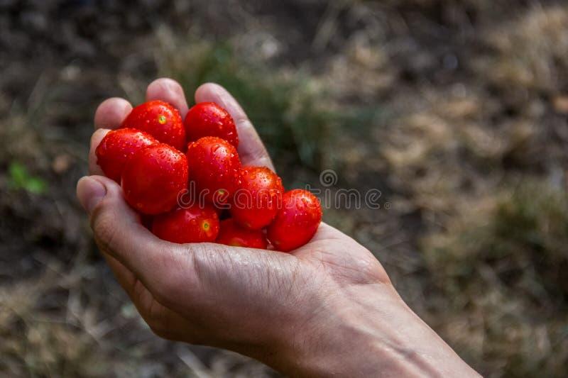 Tomates juteuses de produits organiques dans une main Tomates-cerises dans une main du ` s d'homme Tomates fraîchement cuites au  photos libres de droits