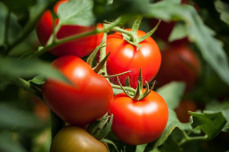 """Tomates – macrophotography de """"Pomodori """" photos libres de droits"""