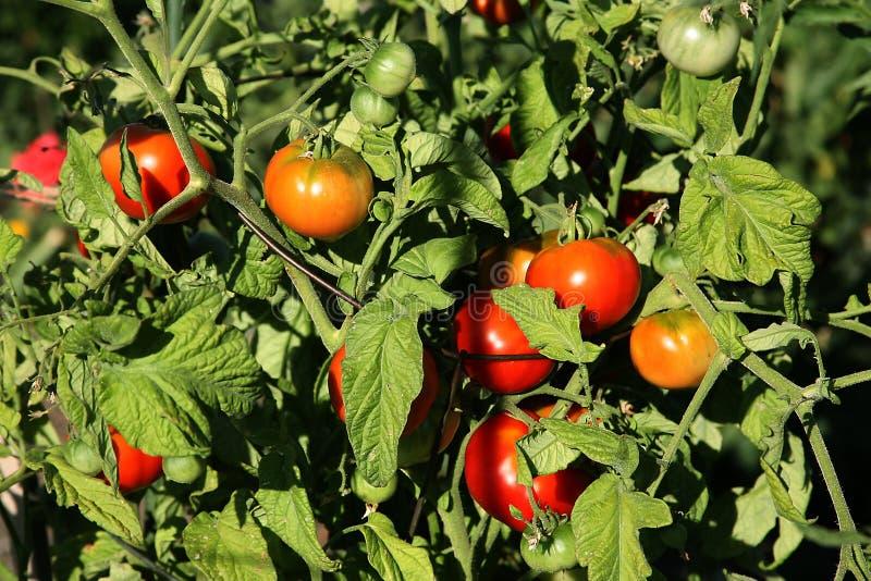 Tomates maduros da videira orgânica imagem de stock royalty free