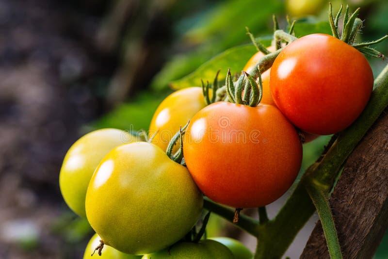 Tomates maduros del jardín, tomates verdes en el jardín, tomates frescos foto de archivo libre de regalías