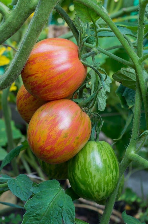 Tomates maduros e inmaduros en un arbusto imagen de archivo