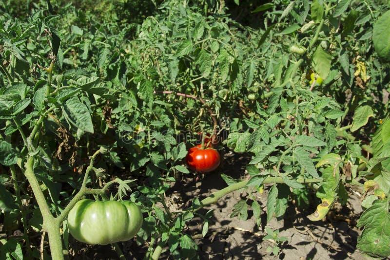 Tomates maduros e verdes em ramos fotos de stock