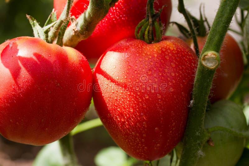 Tomates maduros y verdes del jardín imagen de archivo libre de regalías