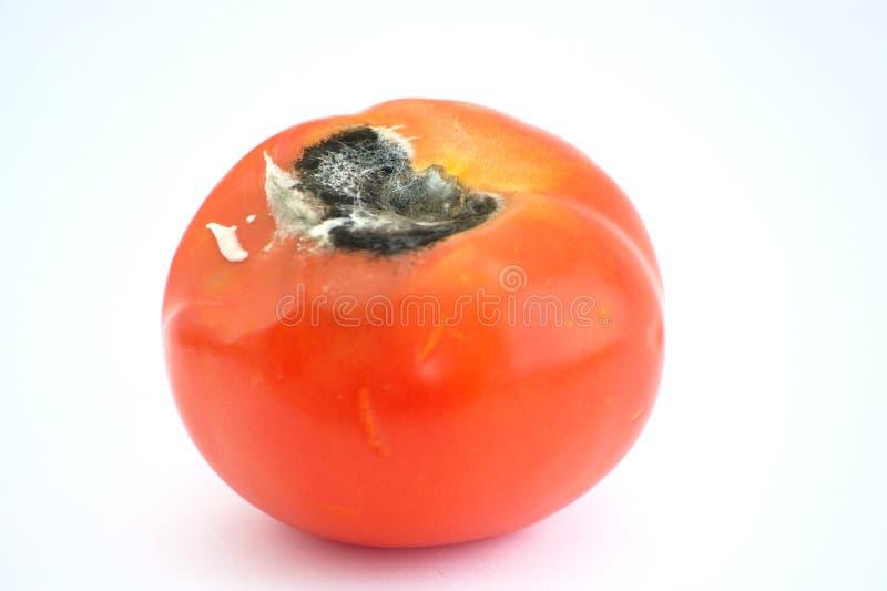 Tomates mofados imagens de stock royalty free
