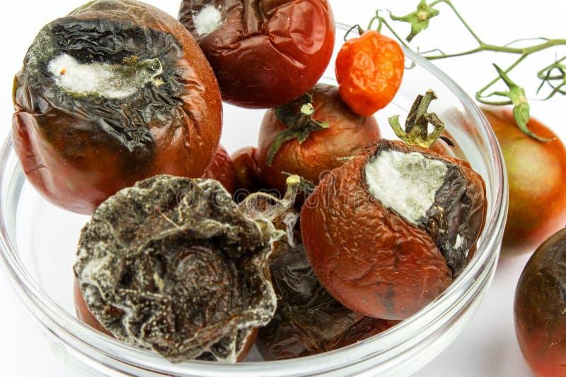 Tomates mohosos en un bol de vidrio en un fondo blanco Comida malsana Mún almacenamiento de verduras Molde en la comida foto de archivo