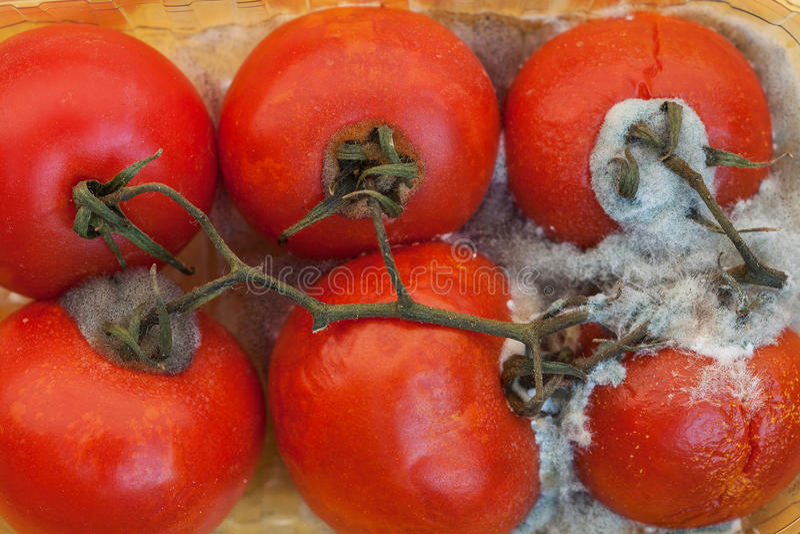 Tomates moisies photographie stock libre de droits