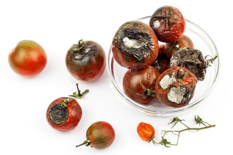 Tomates moisies dans un bol en verre sur un fond blanc Nourriture malsaine Mauvais stockage des légumes Moule sur la nourriture images stock