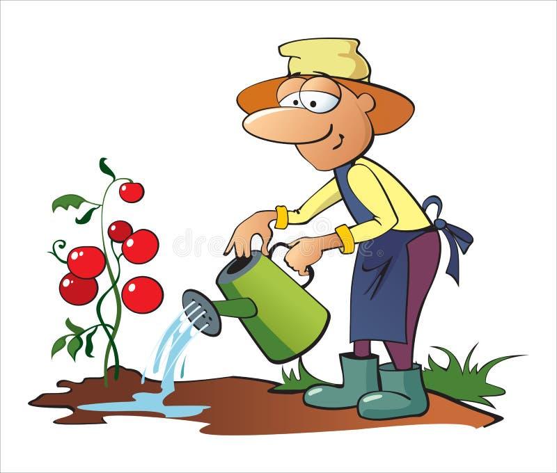 Tomates molhando do jardineiro foto de stock