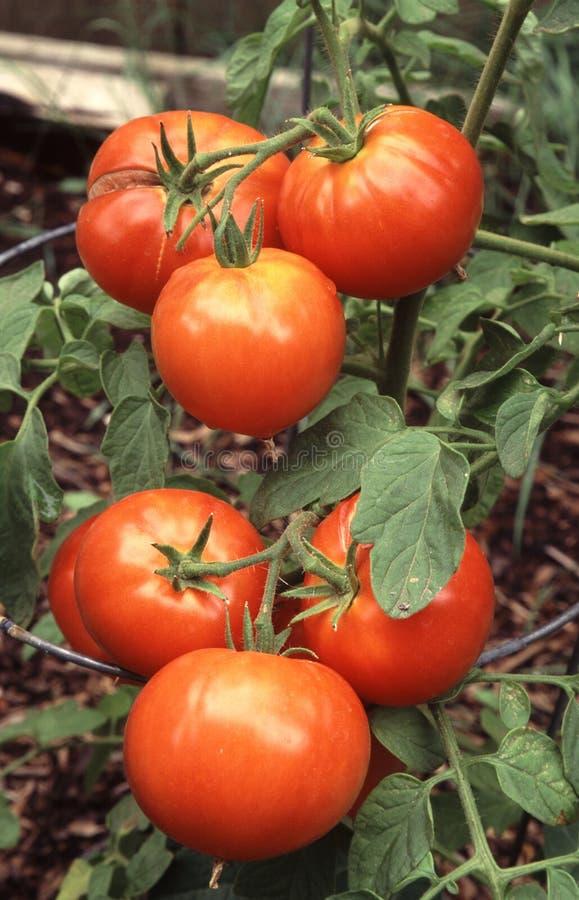 Tomates na videira fotografia de stock royalty free