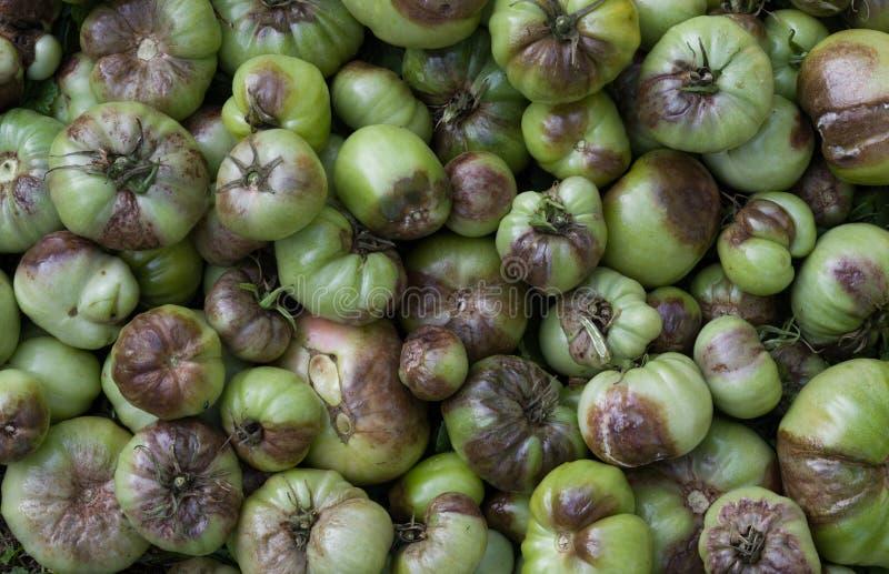 Tomates non mûres affectées par la rouille en retard Phytophthora infestans image stock