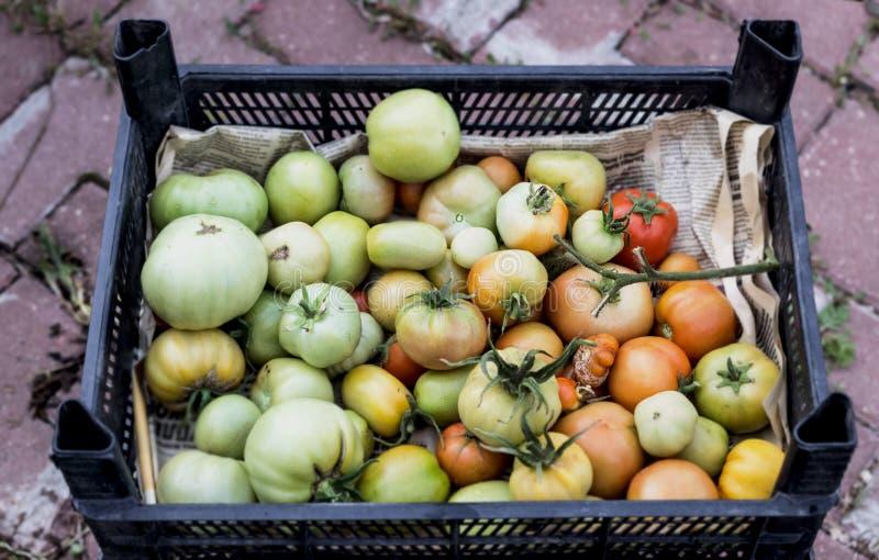 Tomates non mûres dans la boîte photos libres de droits