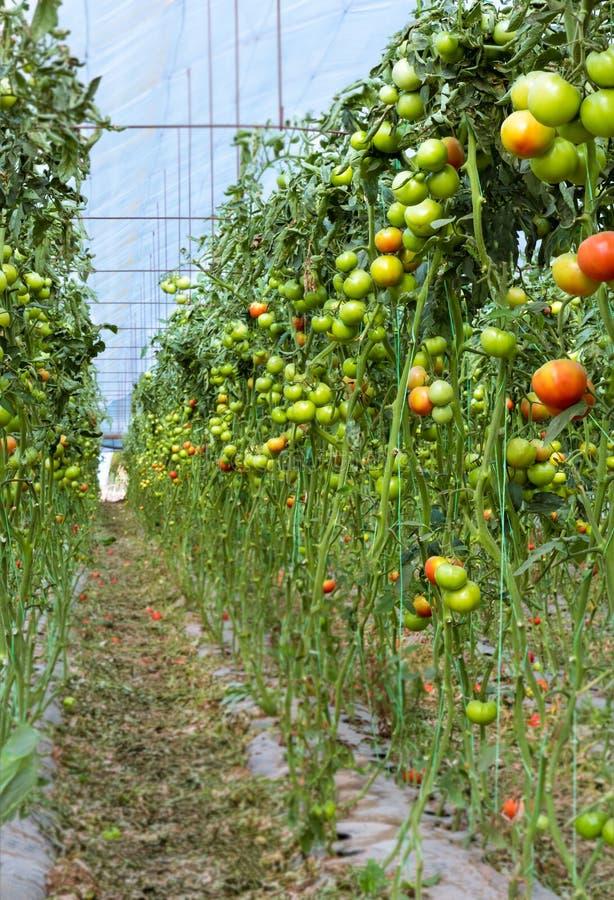 Tomates novos na linha na estufa fotos de stock