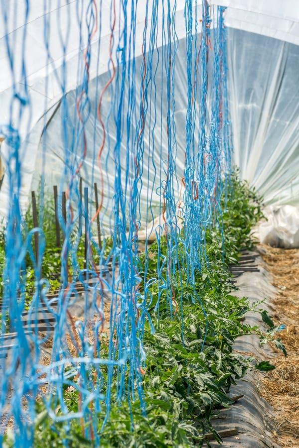 Tomates orgánicos que crecen en un invernadero artesanal fotos de archivo