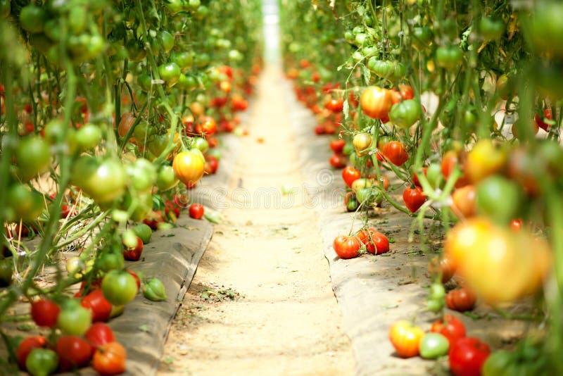 Tomates que crescem em uma estufa fotografia de stock royalty free