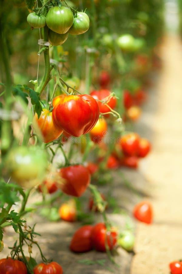 Tomates que crescem em uma estufa foto de stock royalty free