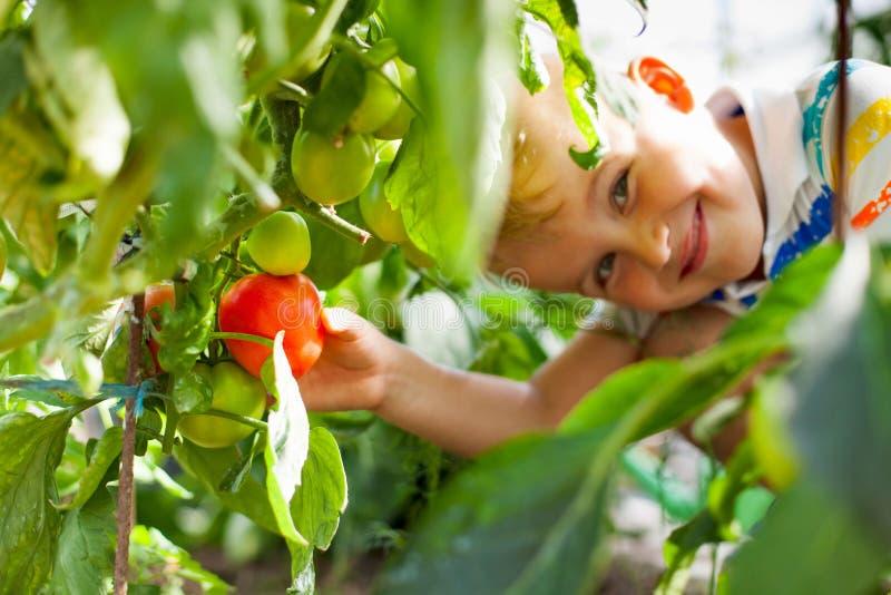 Tomates rojos bronceados alegres de los frunces rubios del muchacho en un invernadero imagen de archivo
