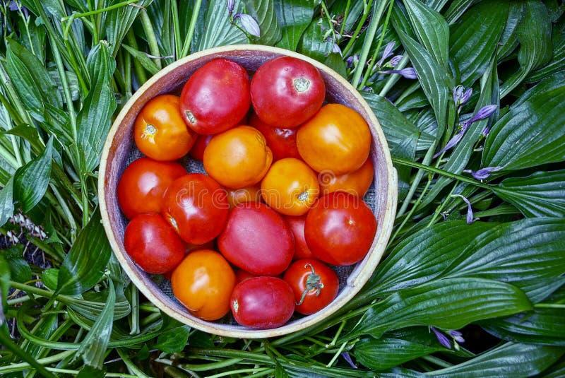Tomates rojos y amarillos en un cuenco de madera redondo en las hojas verdes fotos de archivo