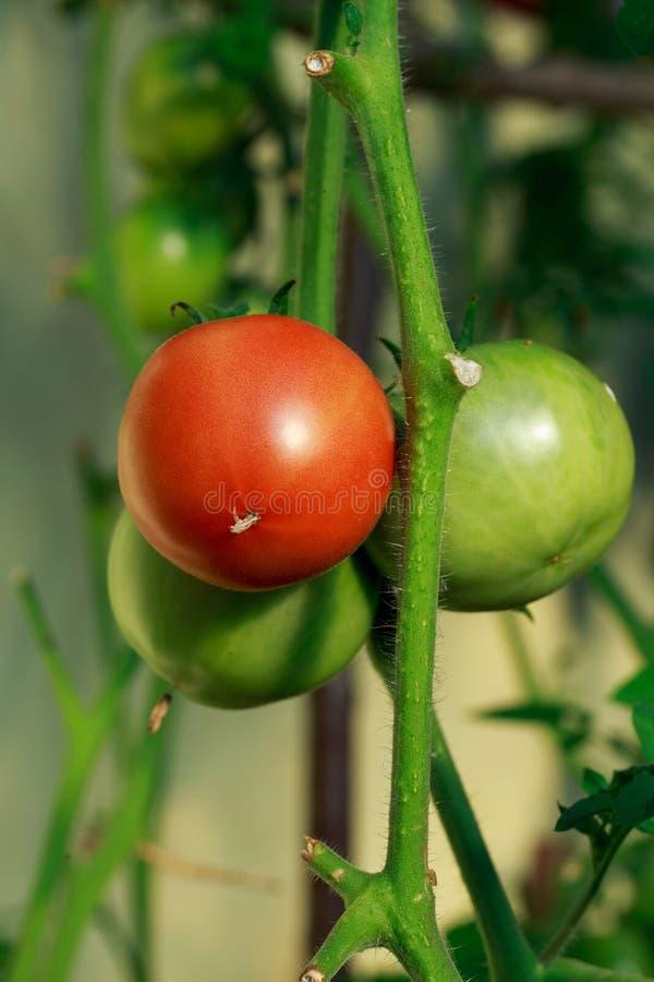 Tomates rojos y verdes fotos de archivo