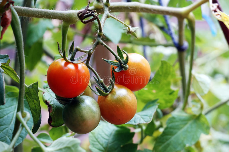 Tomates rouges images stock