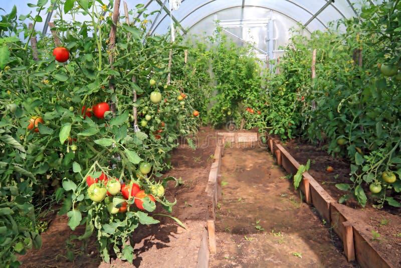 Tomates rouges et vertes photographie stock libre de droits
