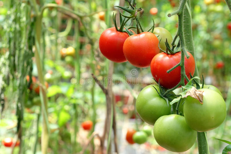 Tomates sur l'arbre image stock