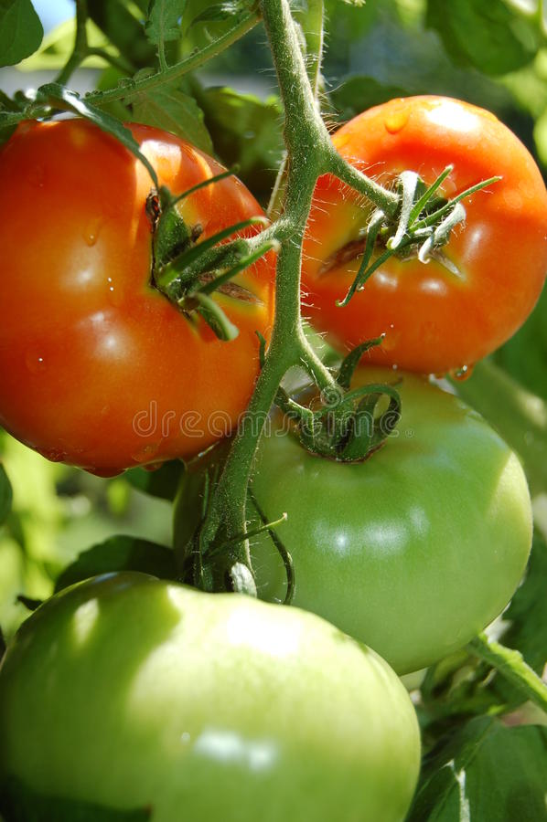 Tomates sur la vigne photographie stock