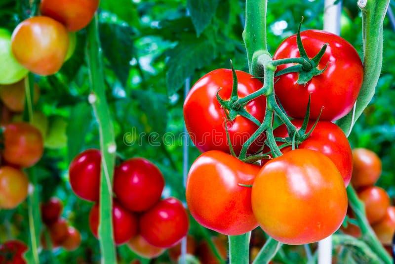 Tomates sur une cheminée images stock