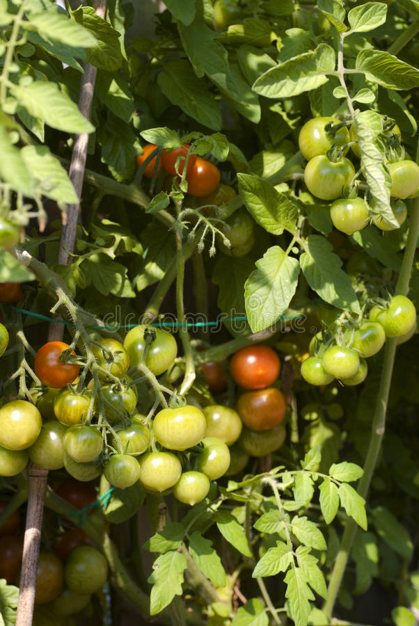 Tomates, tomates, tomates. image libre de droits