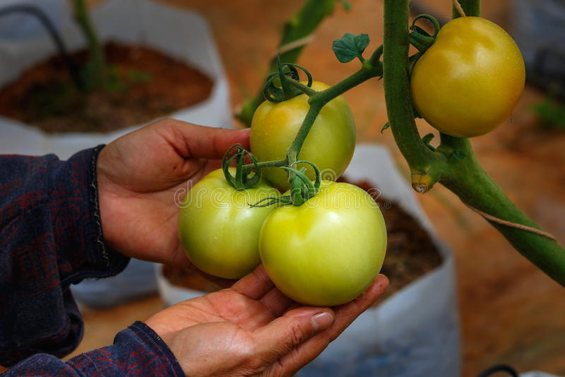 Tomates, vérification organique d'agriculteur et tomates images stock