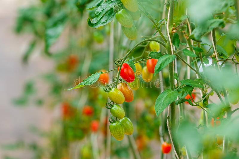 Tomates, vérification organique d'agriculteur et tomates photographie stock libre de droits