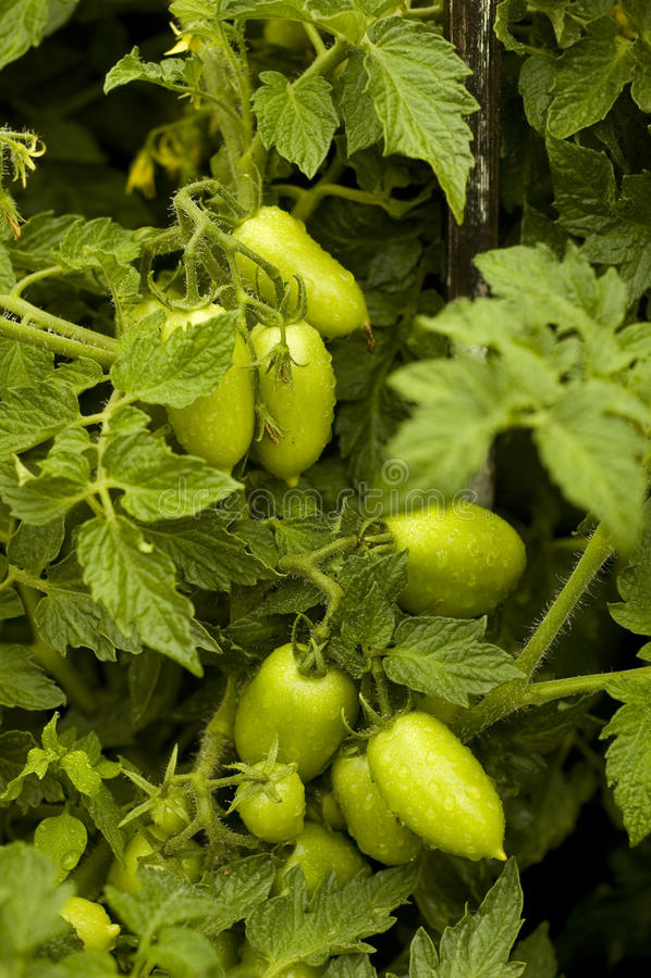 Tomates verdes foto de stock royalty free