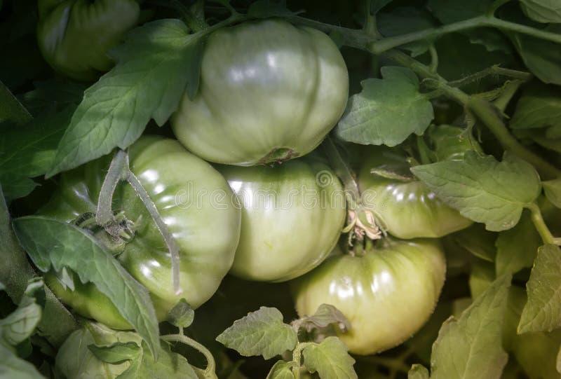 Tomates verdes de maduración en la rama de Bush imagenes de archivo