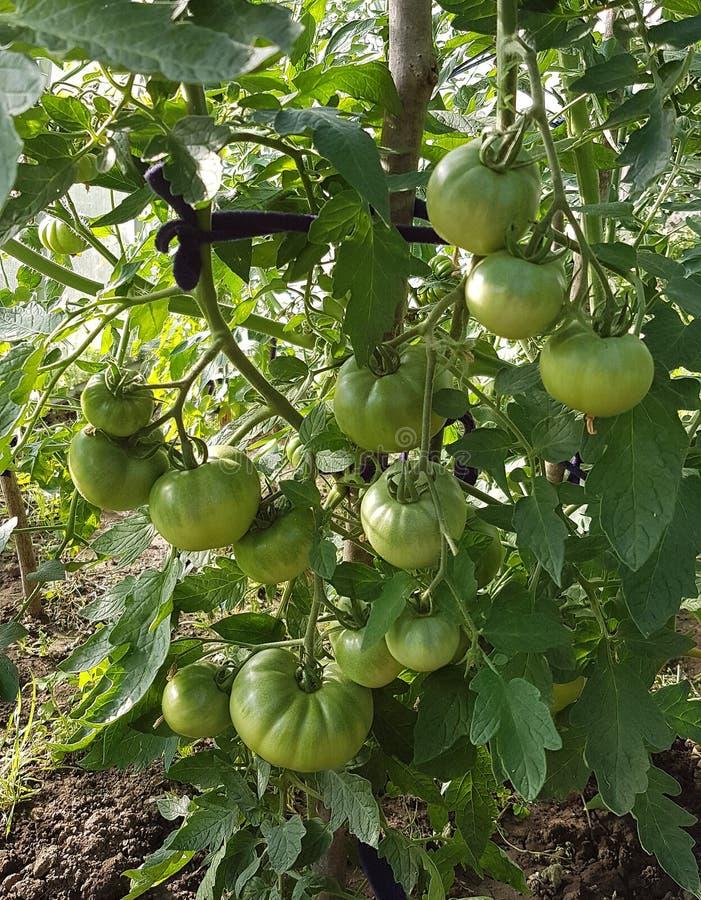 Tomates verdes do verão que amadurecem a exploração agrícola do ar livre da natureza da colheita foto de stock royalty free