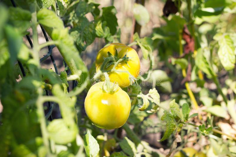 Tomates verdes em Bush, fotos de stock royalty free