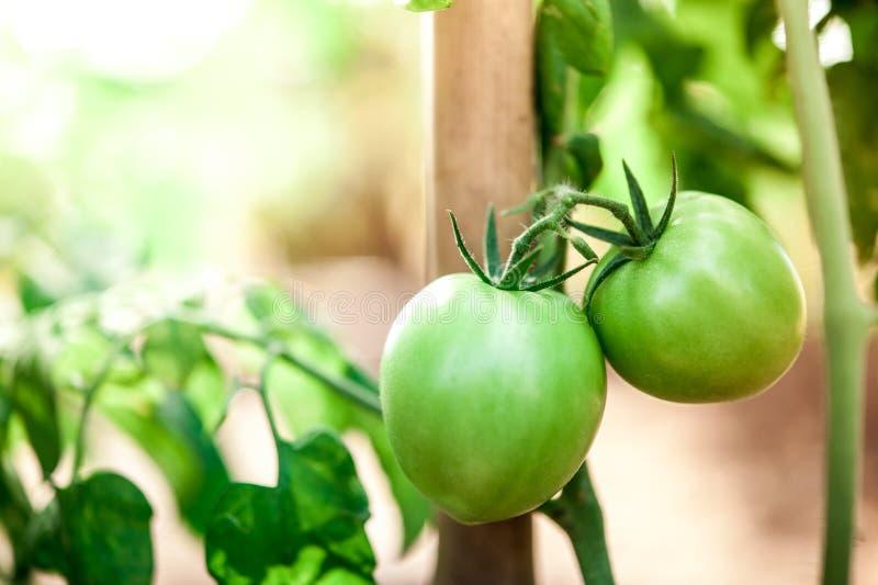 Tomates verdes en árbol del tomate fotos de archivo