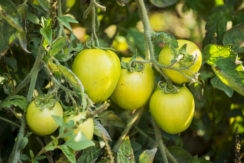 Tomates verdes en un jardín orgánico imagen de archivo libre de regalías