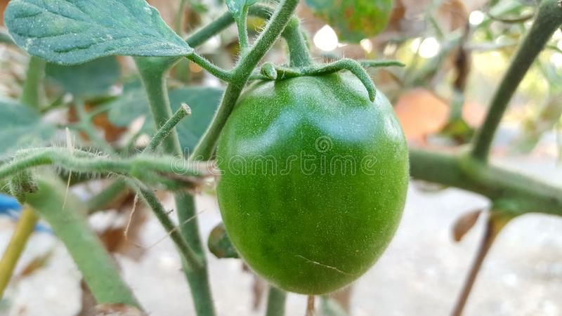 Tomates verdes jovens, um dos frutos incluídos na categoria dos produtos hortícolas e das frutas fotos de stock