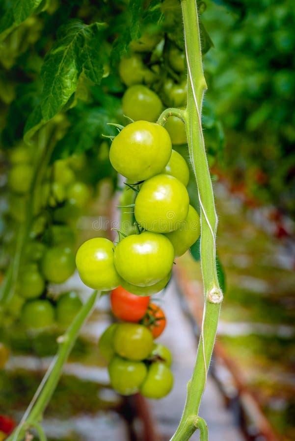 Tomates verdes que maduran en un invernadero del cierre foto de archivo libre de regalías