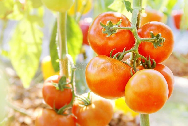 Tomates vermelhos, frescos, pendurados na vinha, na agricultura biológica imagens de stock royalty free