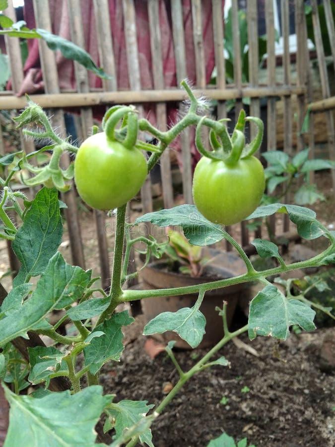 Tomates vertes image stock