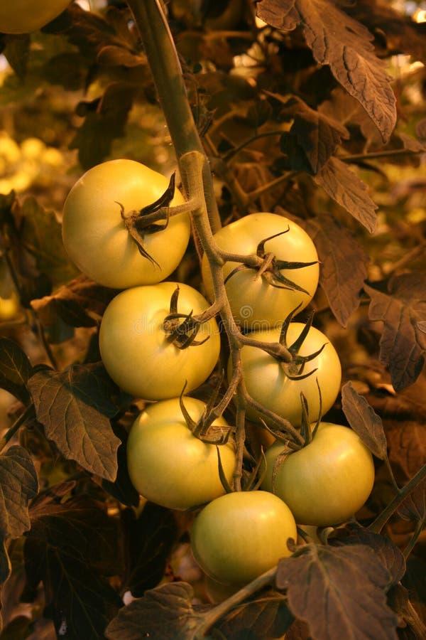 Tomates vertes photographie stock