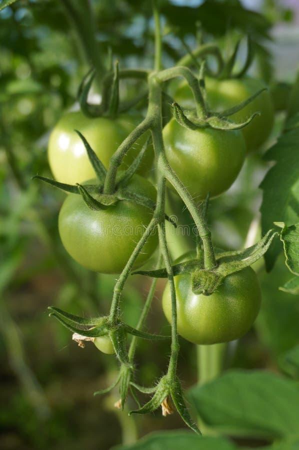 Tomates vertes photo libre de droits