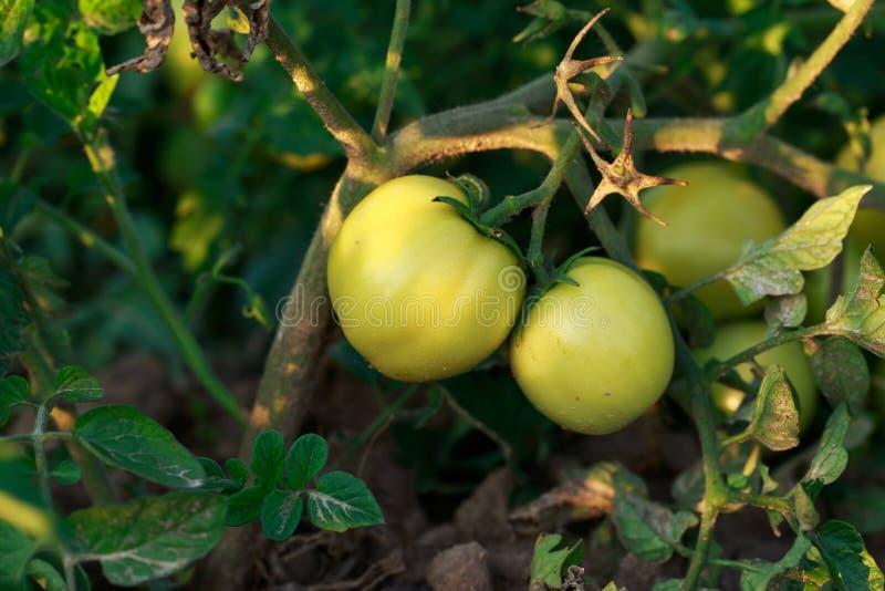 Tomates vertes dans un jardin photographie stock libre de droits