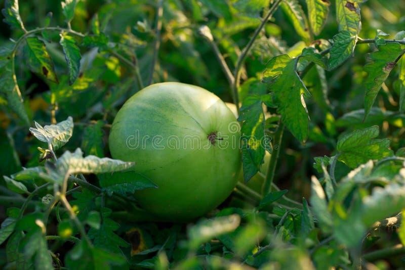 Tomates vertes dans un jardin images libres de droits