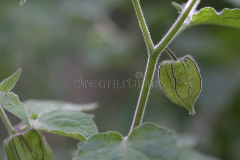 tomatillo 免版税库存照片
